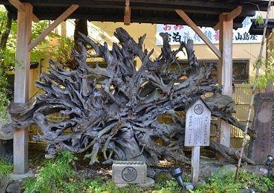 日本一の巨大な推定樹齢約1200年もの平家神代杉根