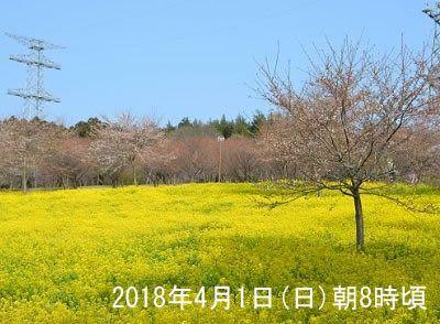 2018年4月1日赤城南面千本桜祭り会場近くの菜の花と桜の開花の様子