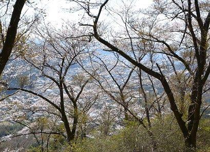 桜の木と桐生市街地の様子