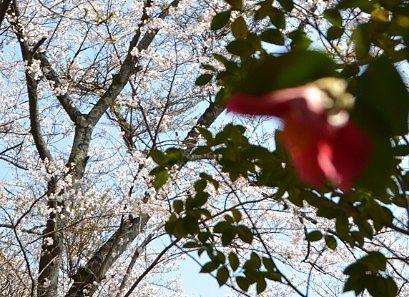 遊歩道からの桜の花の様子