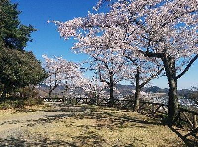 遊歩道の桜の様子