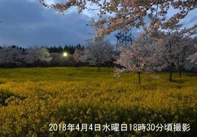 夜間の会場付近の菜の花と桜