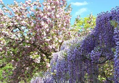 桜の木と藤の木