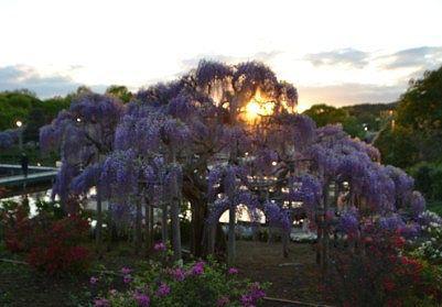 夕焼け時の藤の木