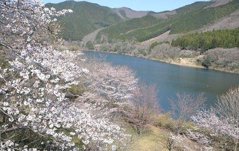 梅田湖と桜