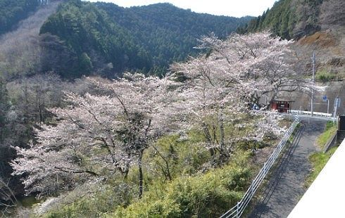 梅田大橋から見えた桜