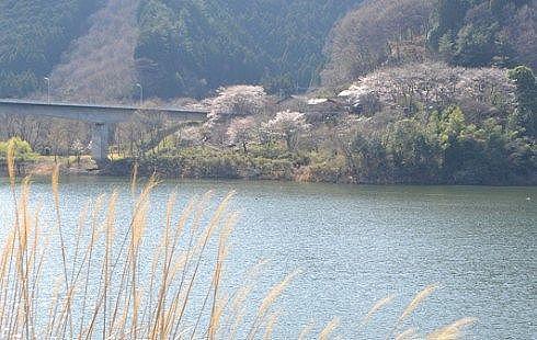 梅田大橋周辺の桜