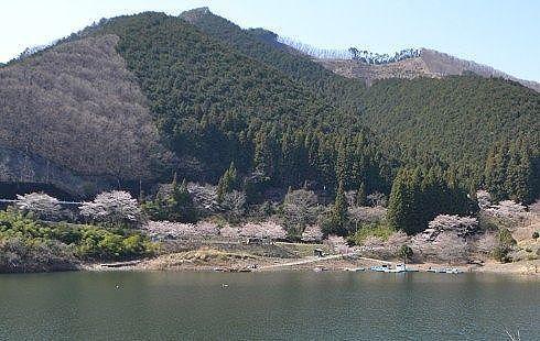 ボート乗り場周辺の桜