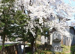 道祖神まつりの碑に上の満開の桜
