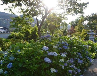 松源寺の紫陽花