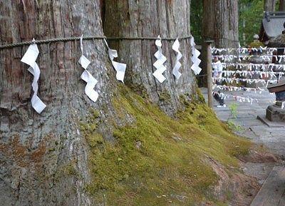 夫婦杉の幹の様子