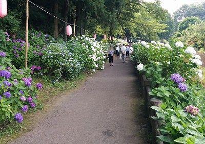 紫陽花の花に囲まれた遊歩道の様子
