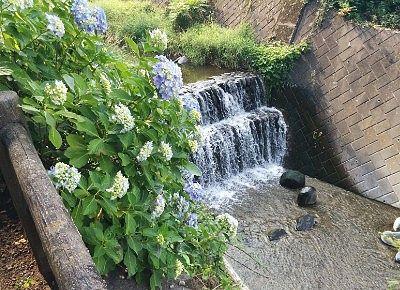 川の畔に咲いてた紫陽花の花