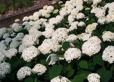 咲き乱れていた純白の紫陽花の花