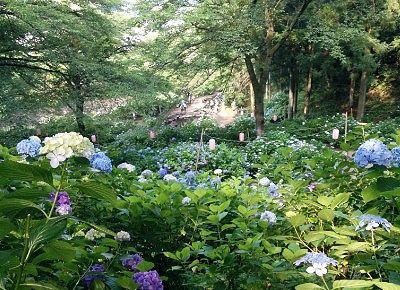 小野池から見下ろした紫陽花の様子