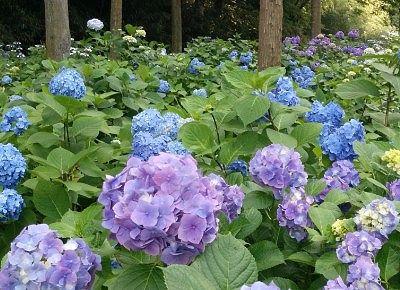 青と紫の咲き乱れてた紫陽花の様子