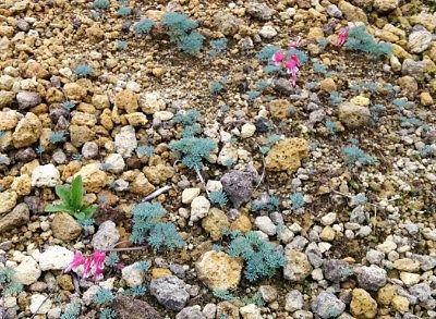 コマクサの花