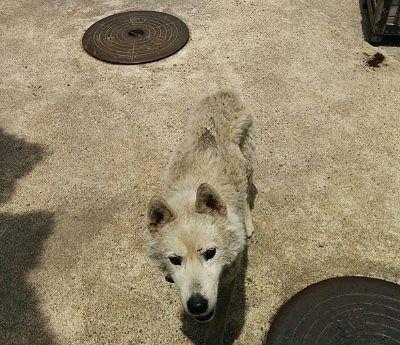 宿が飼ってたハスキー犬
