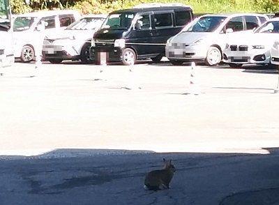 道路をはねてきた野ウサギ