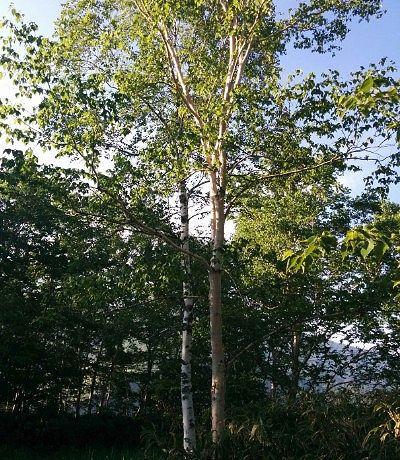 ダケカンバと白樺の木