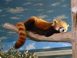 寝てたアライグマ