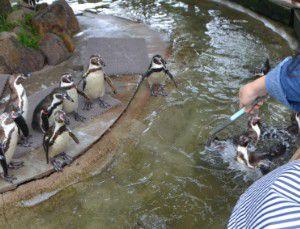 ペンギンにエサやり