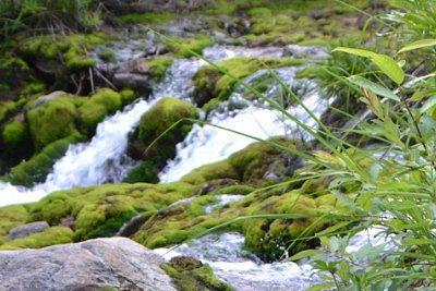 川の脇のチャツボミゴケ