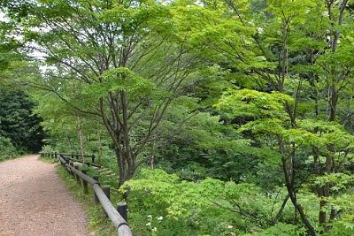 遊歩道のカエデの木