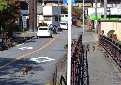県道を横断する野生の猿