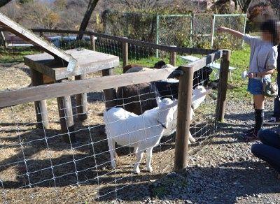ヤギのエサやりの様子