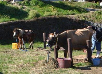 ポニー乗馬と牛の乳しぼり
