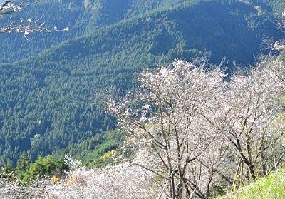 山の斜面に咲く冬桜