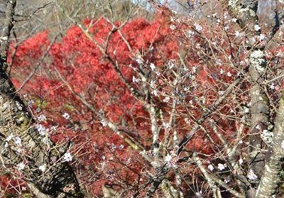 桜と紅葉のコラボレーション