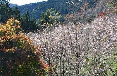 冬桜と紅葉の様子