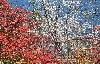 赤いもみじと白い花の冬桜