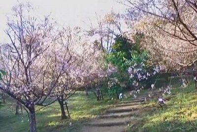 桜の中の遊歩道の様子