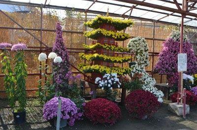 大型の菊花作品