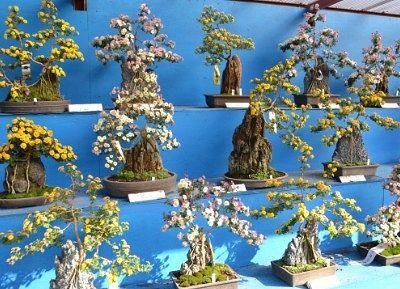 盆栽の菊の花