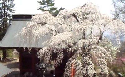 妙義神社のシダレ桜