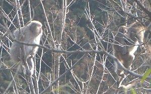 四万街道脇にいた猿