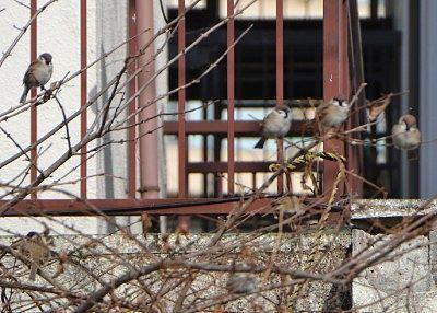 滝見公園周辺にいた雀