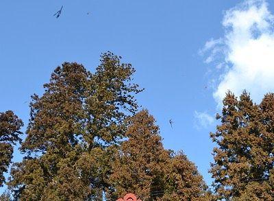 杉並木の杉の小枝が飛んでるところ