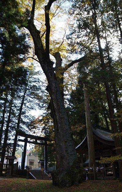 樹齢約千年の大欅と二之御柱