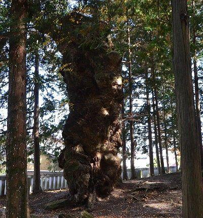 枝と幹が切れてた大欅