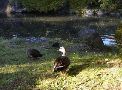 池の周りにいた鴨