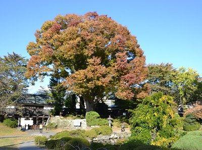 冠木門横の大木