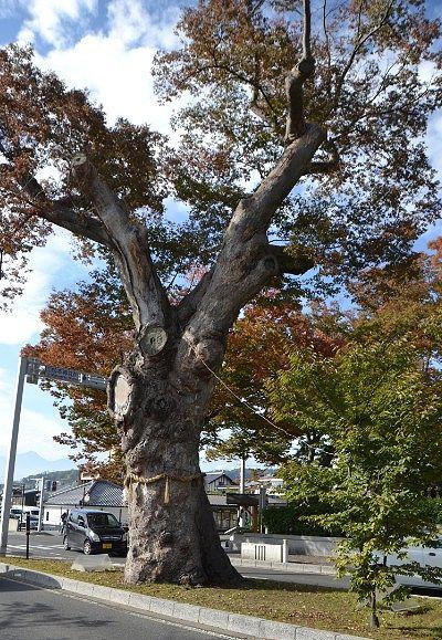 道路中央分離帯の大欅の御神木