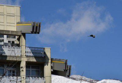 ホテル前を滑空してた青サギ