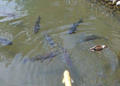 鑁阿寺の堀にいる鯉