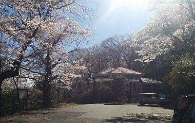 水道記念館前の桜の様子